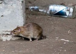 Уничтожение крыс и мышей в Вологде, Вологодском районе, в Вологодской области