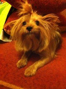 Срочно! Найдена собака породы йоркширский терьер!