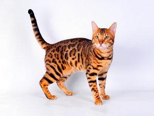 Клещи у кошки? Где купить капли от клещей?