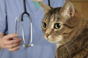 Лечение кошек в Череповце