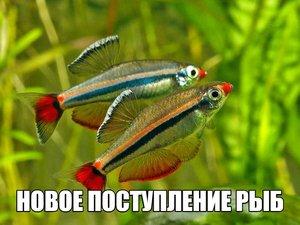Аквариумные рыбки в Череповце