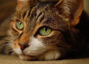 Операция кошке - срочная помощь Вашей питомице!