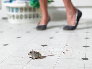 Как избавится от грызунов (дератизация)? Как защитить дом от грызунов?