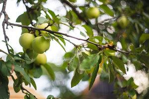 «Яблочная история» в Ясной Поляне