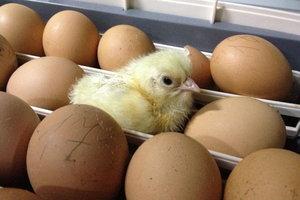 Инкубация яиц в Оренбурге