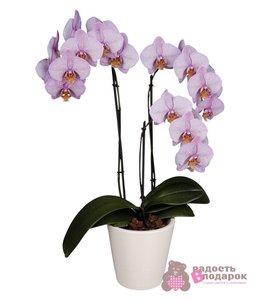 Орхидея фаленопсис. Секреты ухода