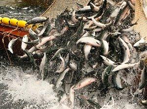 Компания «Поларис» - поставщик промысловой рыбы и морепродуктов из Петропавловcка-Камчатского