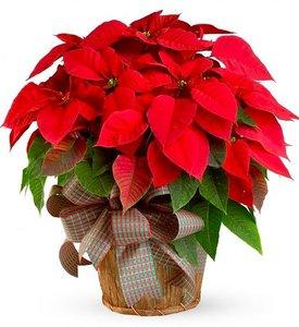 Пуансетия. Рождественская звезда. Уход и размножение.