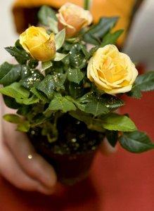 Цветы в горшках. Подарить красивый благоухающий цветок в горшке. Купить цветы в горшках для подарка в Новотроицке.