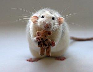 Распространенные заболевания у декоративных крыс