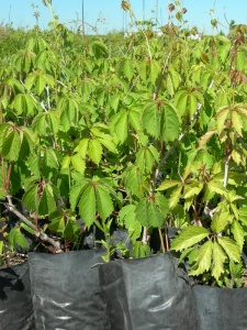 Осенняя продажа саженцев декоративных деревьев и кустарников