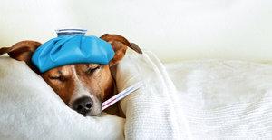 Инфекционные заболевания у животных