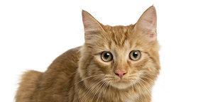 Кошка стерилизация в Череповце
