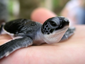 Волонтерская программа по уходу и наблюдению  за морскими черепахами на о. Маврикий