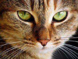 Стерилизация кошек в Туле