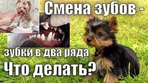 Смена зубов у собак- зубки в два ряда. Что делать?
