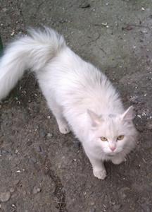 Найдена белая кошка с голубым ошейником!!!