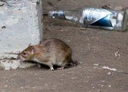Уничтожение крыс и мышей в Вологде и Вологодском районе