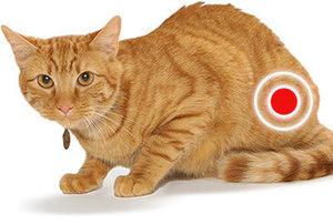 Цистит у кота: симптомы, профилактика и лечение воспаления