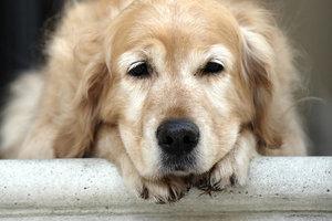Артрит у собак - виды, диагностика, лечение, профилактика болезни