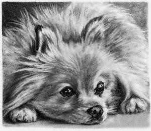 Случаи из практики: Пациент - собака породы шпиц 7 месяцев. Пришли с жалобами на хромоту на левую грудную конечность