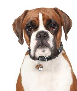 Случаи из практики: собаке был поставлен диагноз остеоартрит левого коленного сустава, разрыв передней крестообразной связки левого коленного сустава.