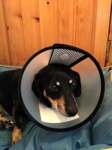 Случаи из практики: Собака метис таксы 8-ми лет. Диагноз - разрыв передней крестообразной связки правого коленного сустава, остеоартрит правого коленного сустава