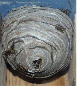 Уничтожение ос и осиных гнезд