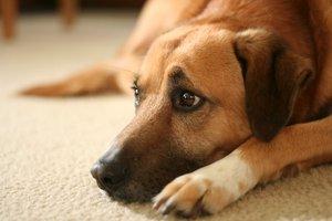Клещ у собаки - грамотное лечение!