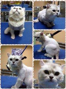 Груминг кошек в Туле - основные нюансы и виды процедуры