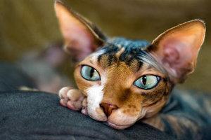Популярные болезни кошек породы сфинкс - диагностика и лечение