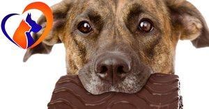 Почему собакам нельзя есть шоколад?