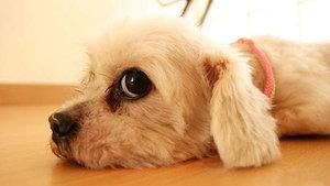 Эклампсия или что нужно делать при нехватке кальция в организме животного?