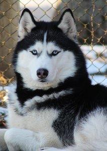 Случай из практики: Собака породы хаски. Обратились с жалобами на хромоту на заднюю левую лапу.