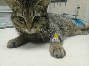 Котик с оскольчатым переломом бедра и шейки бедра