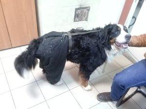 Случаи из практики: Собака породы бернский зенненхунд. Был поставлен диагноз - разрыв передней крестообразной связки левого коленного сустава