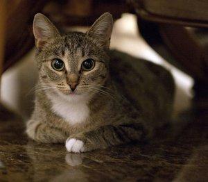 Случаи из практики: Кошка 2-х лет. Диагноз - правосторонняя диафрагмальная грыжа