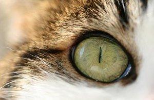 Нагноение в глазах у кота - чем помочь?