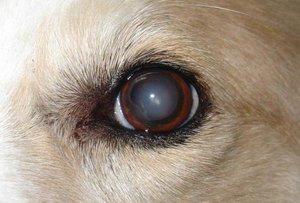 Катаракта у собак и кошек - причины, диагностика, методы лечения