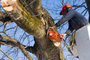 Спил аварийных деревьев в Вологде