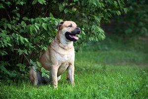 Случаи из практики: собака, диагноз - разрыв передней крестообразной связки