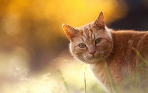 Кот, жалобы на хромоту на правую переднюю лапу в течение нескольких дней.