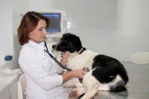 Кесарево сечение у собак разных пород