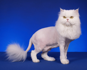 Стрижка котов в Вологде. С заботой о здоровье вашего животного!
