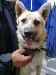 Случаи из практики: Наш пациент: собака Тайга 5 месяцев, породы западно-сибирская лайка. Принесли после того, как её сбила машина.