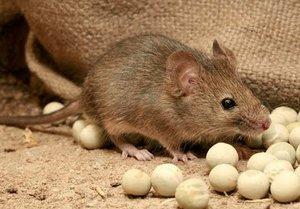 Чем же опасны мыши?