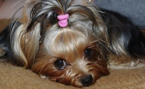 Случаи из практики: Собака, жалобы на сильную хромоту на правую тазовую конечность.