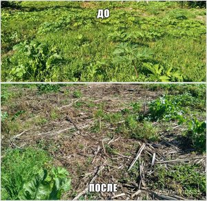 Борщевик. Уничтожение борщевика в Вологде и Вологодском районе.