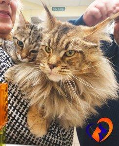 Помощь ветеринара в лечении кошек