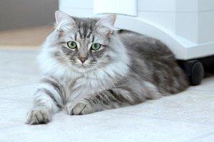 Кошка после стерилизации - особенности ухода и содержания